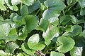 Ranunculus ficaria ENBLA03.jpg