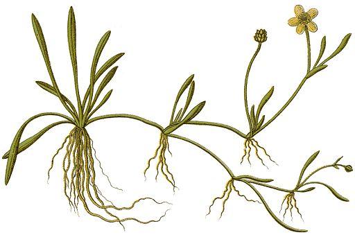 Ranunculus flammula Sturm46