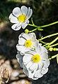 Ranunculus lyallii in Arthur's Pass NP 09.jpg