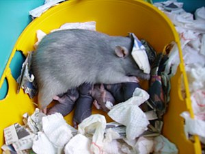 Rat nursing