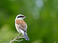 Red-backed Shrike (Lanius collurio) (12714540883).jpg