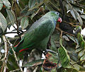Red-billed Parrot 2.jpg