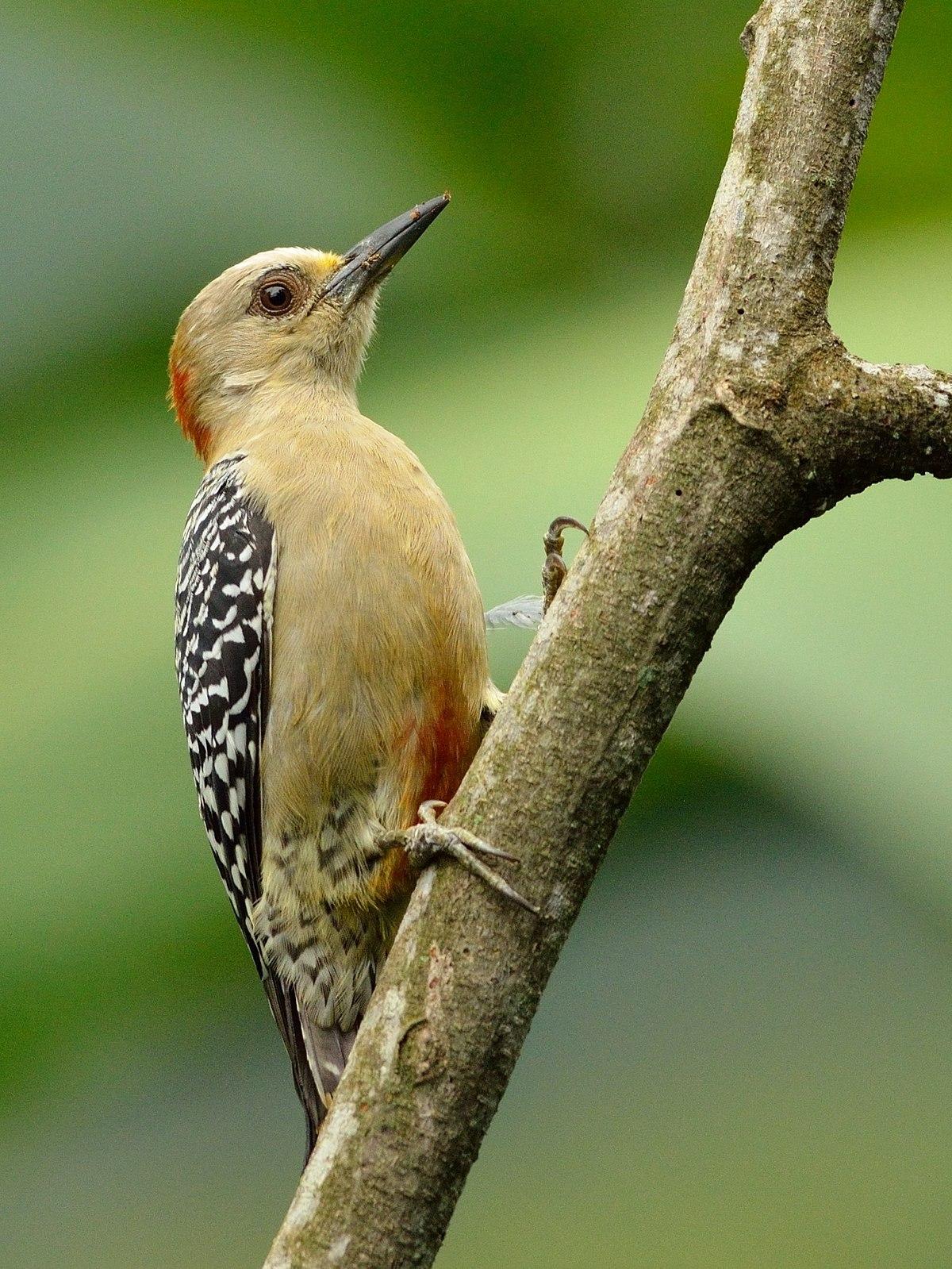 Red-crowned Woodpecker (Melanerpes rubricapillus).jpg