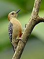 Red-crowned Woodpecker (Melanerpes rubricapillus).jpg
