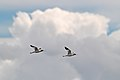 Red-necked Avocets (24665662352).jpg