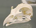Red Kite (Milvus milvus) skull at the Royal Veterinary College anatomy museum.JPG