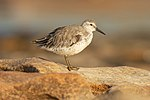 Red Knot 1 - Boat Harbour.jpg