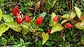 Red Passion Flowers (Passiflora coccinea) (39219150514).jpg