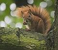 Red squirrel (36434916902).jpg