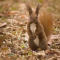 Red squirrel (49546899466).jpg