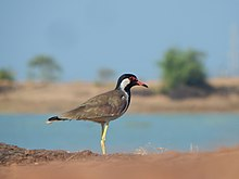 Red wattled lapwing 3.jpg