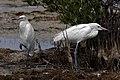 Reddish egrets (Egretta rufescens) white morph.JPG