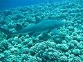 Requin citron près de Moorea.jpg