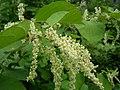 Reynoutria japonica fruit (25).jpg