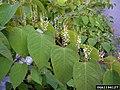 Reynoutria japonica leaf (15).jpg