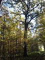 Rezerwat przyrody Dęby w Meszczach 201012 12.01.jpg