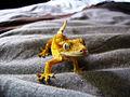 Rhacodactylus ciliatus on a bed.jpg