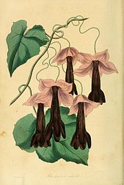 Rhodochiton atrosanguineus1PAXTON.jpg