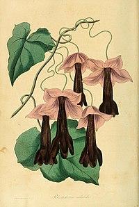 Rhodochiton atrosanguineus1PAXTON