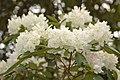 Rhododendron 'Boule de Neige' Cluster.JPG