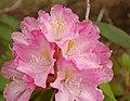 Rhododendron 'Dexter-Bosley-1020' Flowers 2580px.jpg