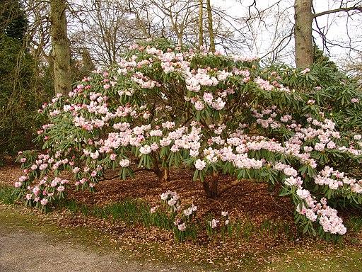 Rhododendron × geraldii (1)