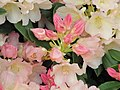 Rhododendron Golden Torch (1).jpg