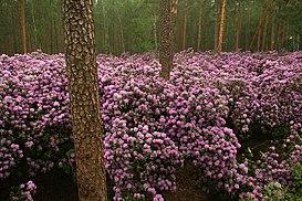 Rhododendron catawbiense 9p.jpg