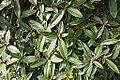 Rhododendron ciliicalyx subsp. lyi (Rhododendron lyi) - Mendocino Coast Botanical Gardens - DSC02195.JPG