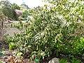 Rhododendron fortunei - University of Copenhagen Botanical Garden - DSC07563.JPG