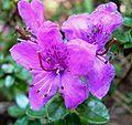 Rhododendron saluenense 3.jpg