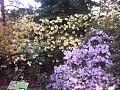 Rhododendron spp.RB.jpg