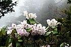 Rhododendron wallichii, Western Arunachal AJTJ.jpg