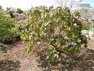 <i>Rhododendron wallichii</i> species of plant