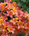 Rhododendron x gandavense (undetermined hybrid) (27498054136).jpg