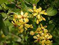 Ribes-odoratum-flowers.JPG