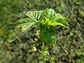 Ribes nigrum 2019-04-05 9123.jpg