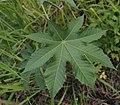 Ricinus communis leaf.jpg