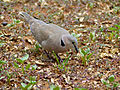 Ring-necked Dove (Streptopelia capicola) (11856230834).jpg