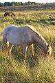 Roan New Forest Pony.jpg