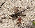 Robberfly Asilidae (32330000032).jpg