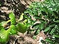 Roble (Nothofagus obliqua) y Lenga (Nothofagus pumilio).jpg