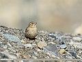 Rock Sparrow (Petronia petronia) (33192304463).jpg