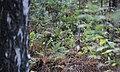 Rode eekhoorn - Sciurus vulgaris.jpg