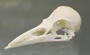 Rook (bird) - A rook skull