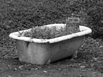 Roots in the tub (28374960154).jpg