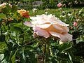 Rosa 'Lumière' in Jardin des Plantes de Paris 04.jpg
