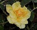 Rosa Gold Glow 3.jpg