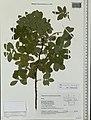 Rosa majalis herbarium (01).jpg