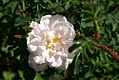 Rosa pimpinellifolia Stanwell Perpetual 0zz.jpg